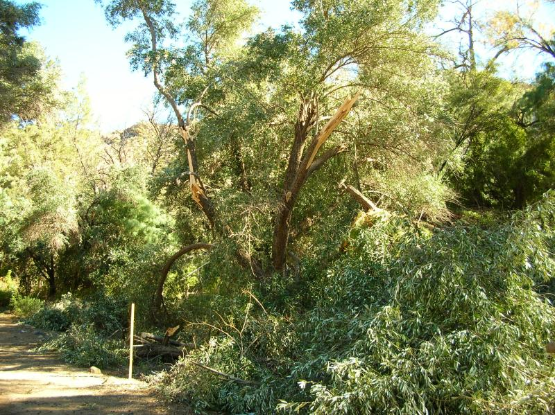 Olive Tree with Broken Limbs