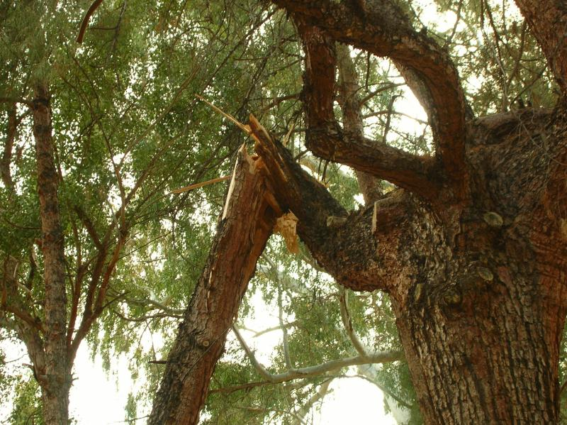 Close-up of Broken Limb in Pine Tree