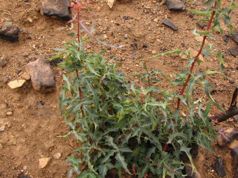 Red Barberry - Mahonia haematocarpa