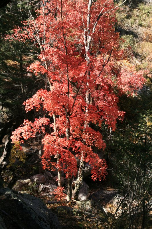 Maple in Sixshooter Canyon