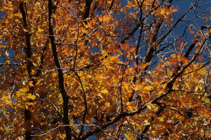 Gambel Oak along the road to Chevlon Lake