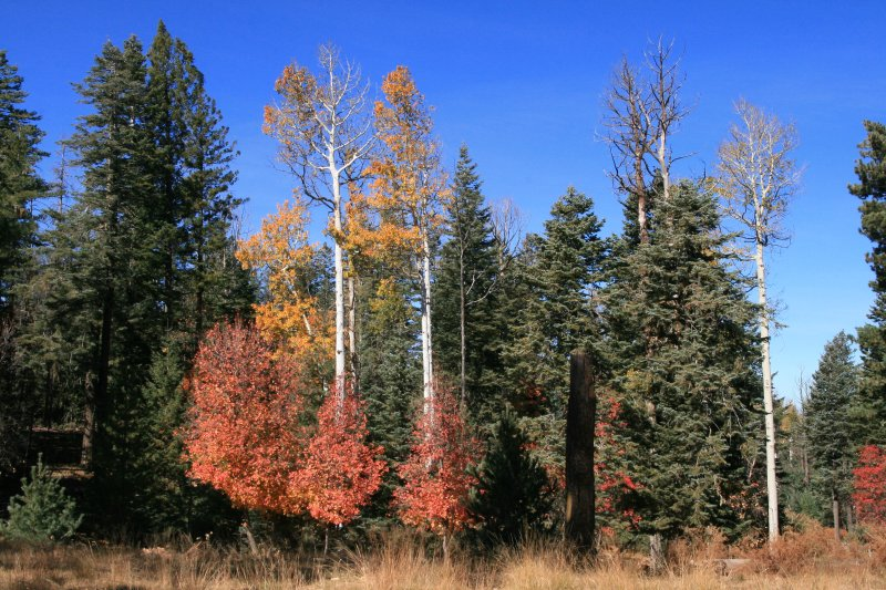 Aspen and Bigtooth Maple along the road to Bear Canyon Lake