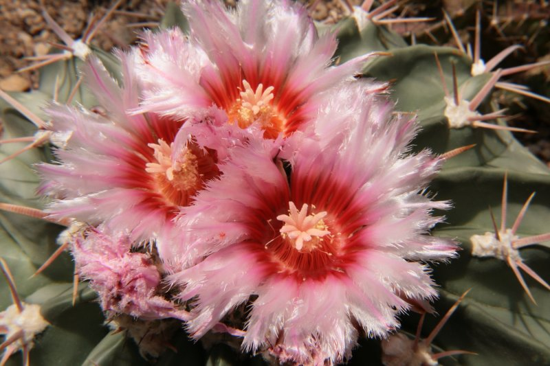 Horse Crippler Cactus in the Cactus Display House