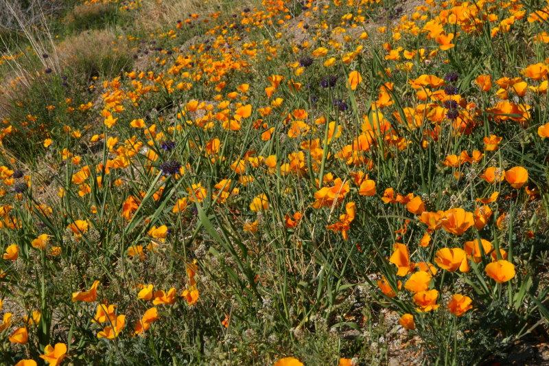 Poppies and Desert Chia