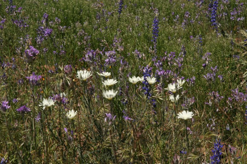 Chicory, Blue Dicks and Lupine