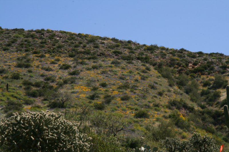 Purple Phacelia distans and Mexican Gold Poppies on a hillside