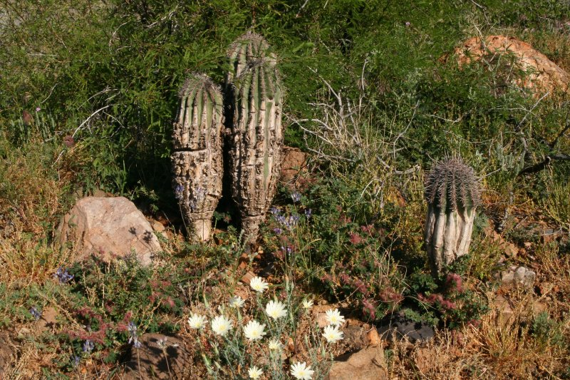 Young saguaros that survived the fire