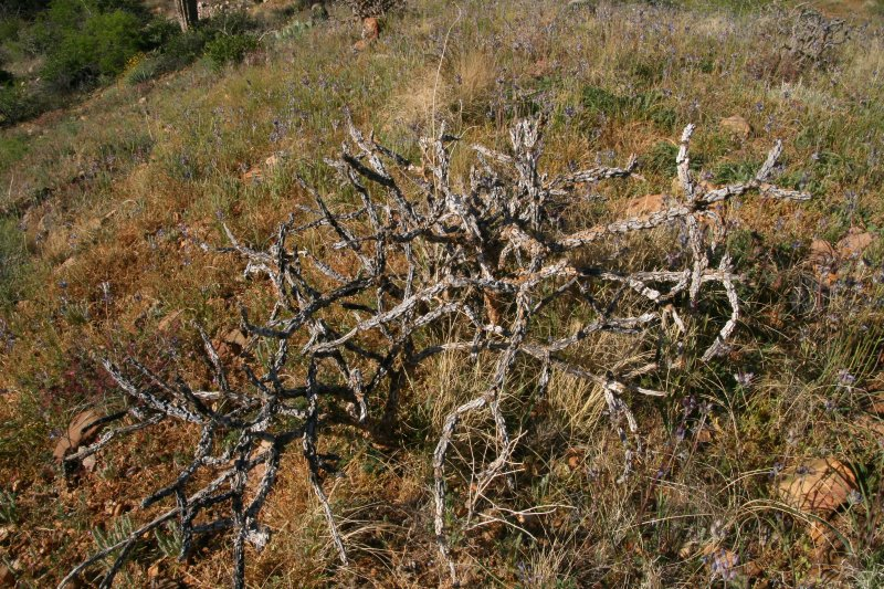 This Cholla did not survive the fire