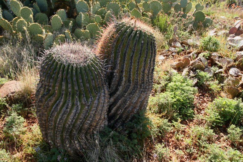 Barrel cactus that survived the fire