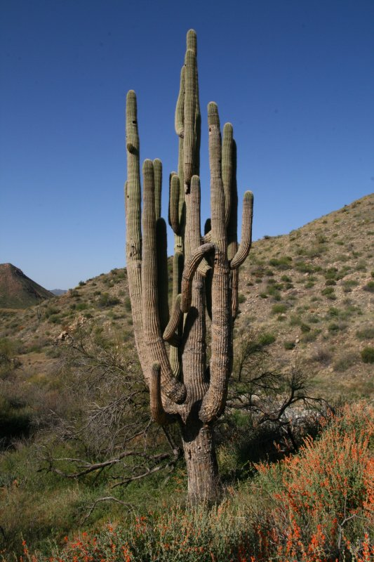 This giant Saguaro survived the fire