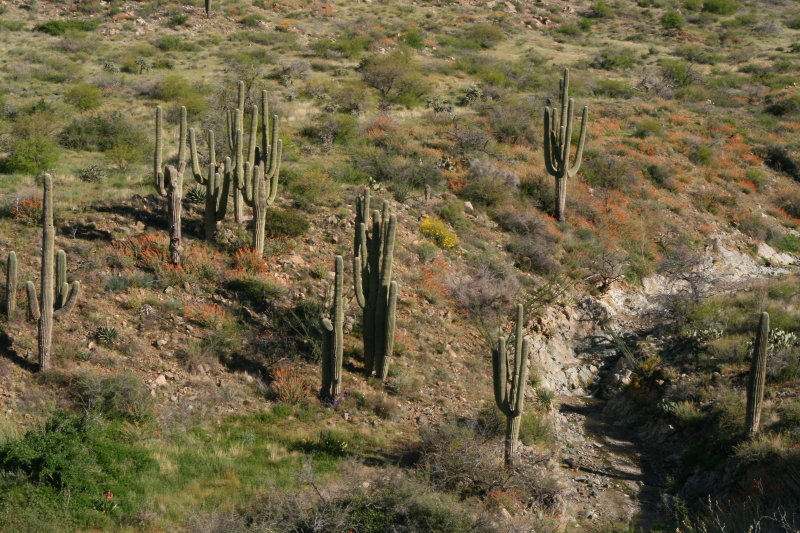 A group of Saguaros that survived the Peachville Fire of 2005