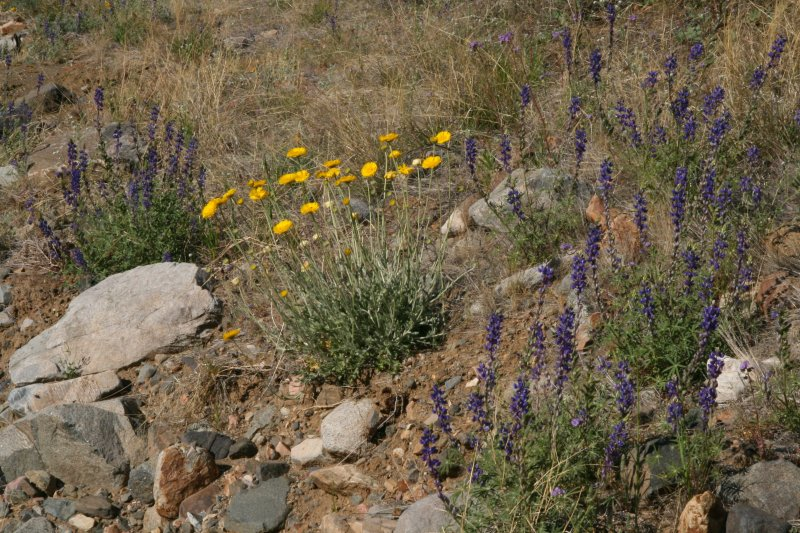 Lupine and Desert Marigold