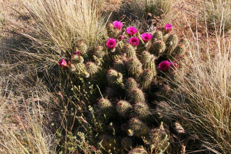 A very large Hedgehog Cactus
