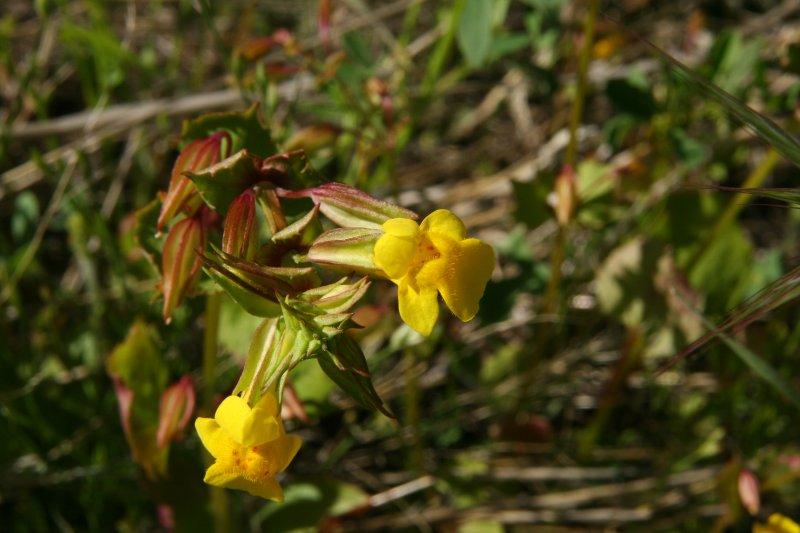 Monkey Flower - mimulus guttatus
