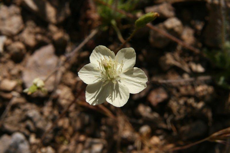Cream Cups - Platystemon californicus