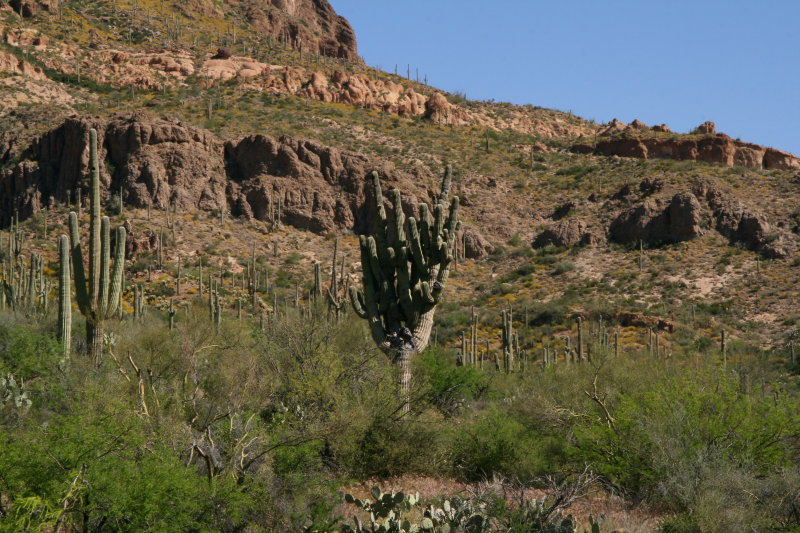 Large Saguaro with many arms