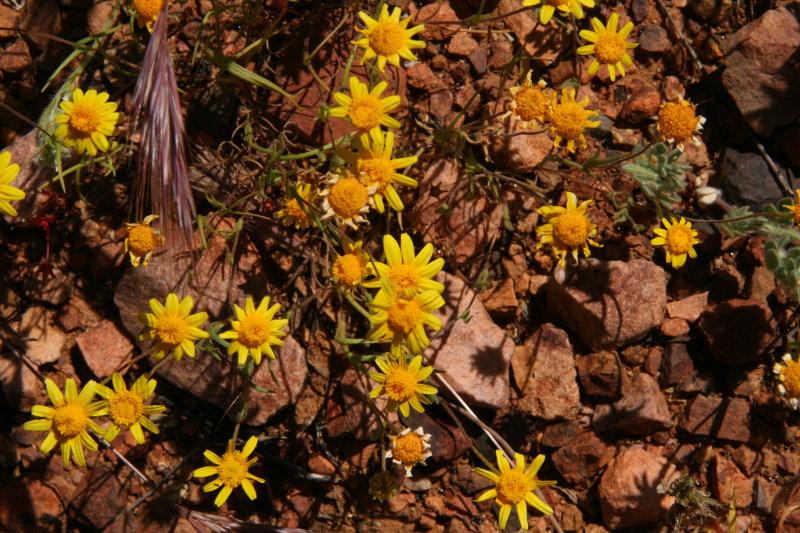 Goldfields - Lasthenia chrysostoma