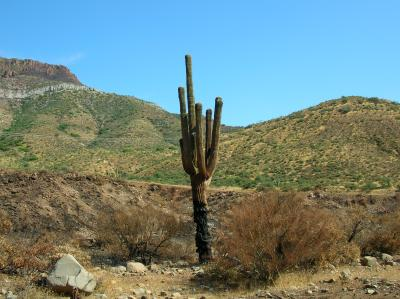 Fire damaged saguaro