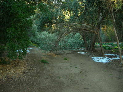Olive Tree Branches Blocking the Main Trail