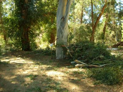 Piles of Fallen Branches Stacked in the Eucalyptus Forest
