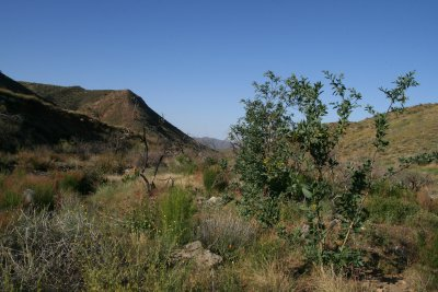 Tobacco Tree, a non-native, growing along the 2005 burn area of Silver King Wash