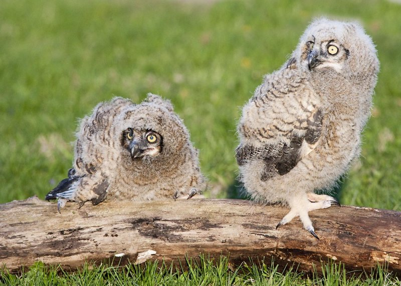 GREAT HORNED OWL CHICKS