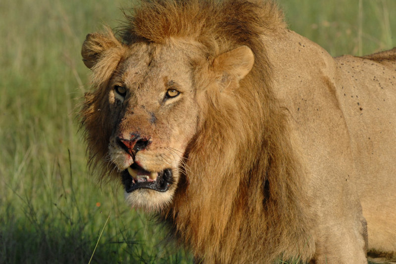 Lion After a Kill