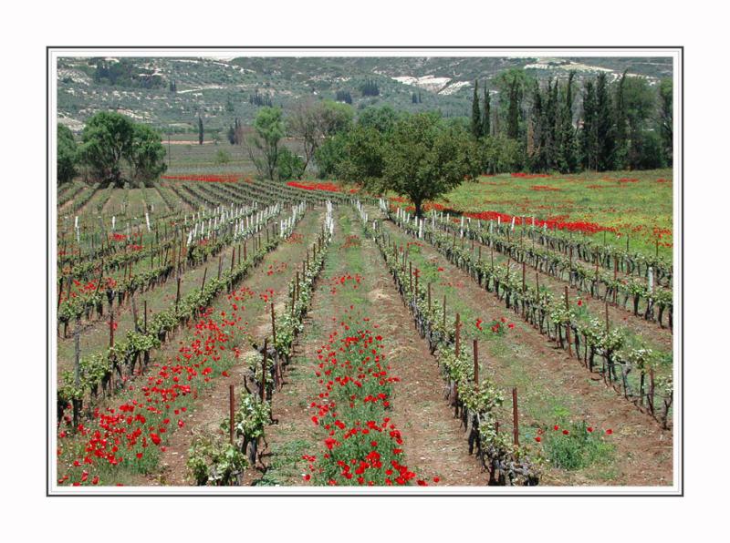 Wineyards,between Tripoli and Korinth