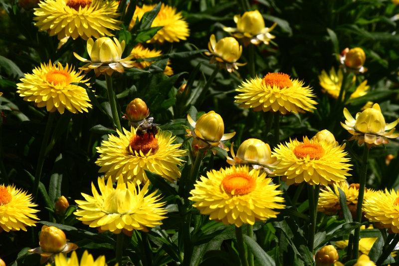 Bracteantha Starburst Yellow_2.JPG