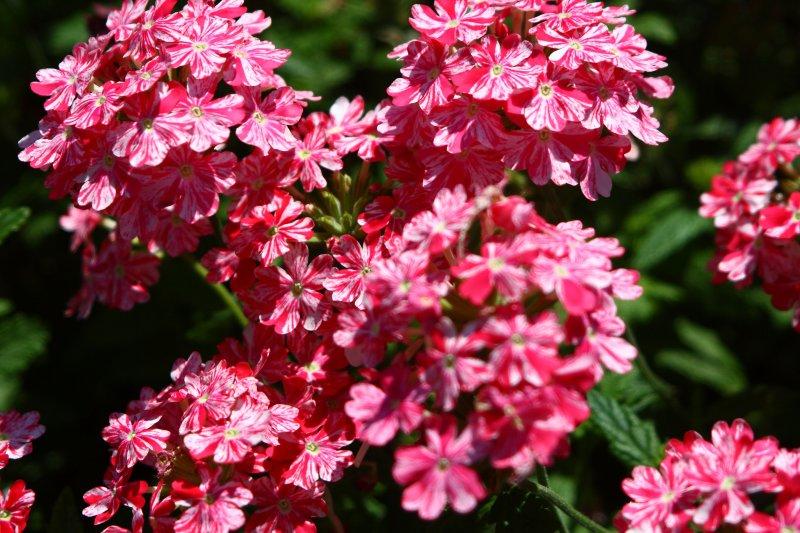 Verbena Twinkle Dark Pink_2.JPG