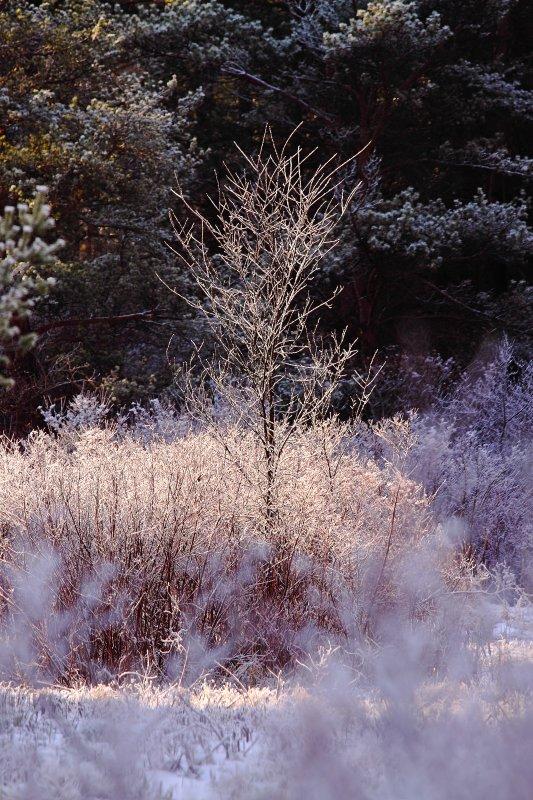 Frosty Tree In The Light