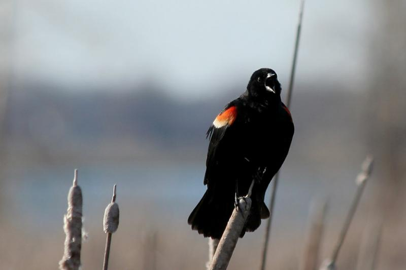 Carouge a épaulettes / Redwinged blackbird