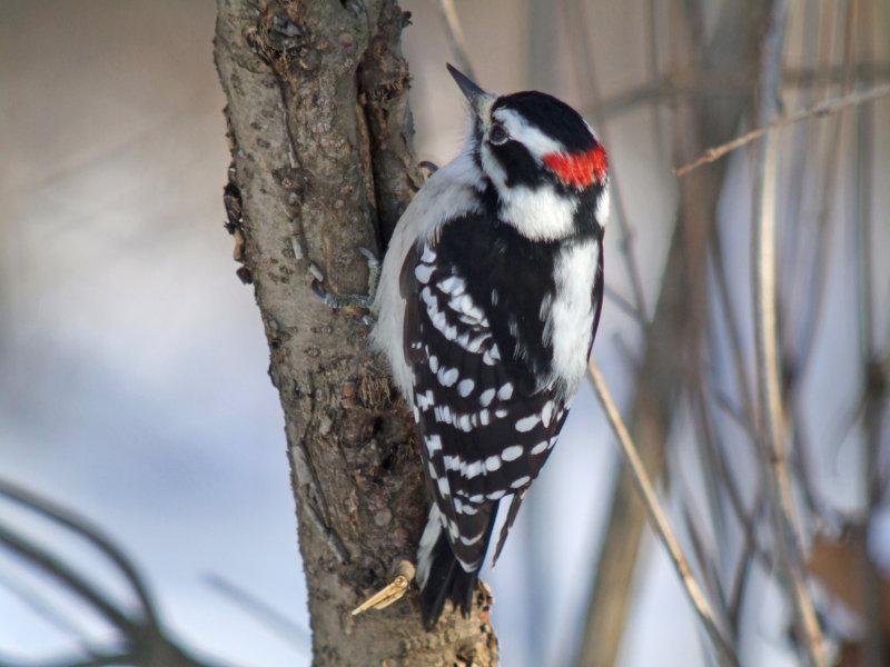 Downy Woodpecker ( male ) eastern