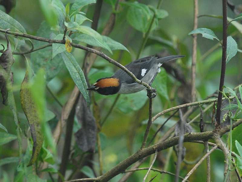 White-winged Brush-Finch2
