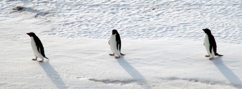 Adelie Penguins walking.jpg