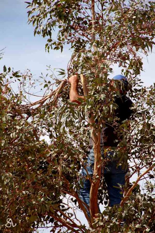 My Dear Husband Prunning Our Trees