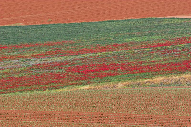 late_spring_in_israel__poppies 2.jpg