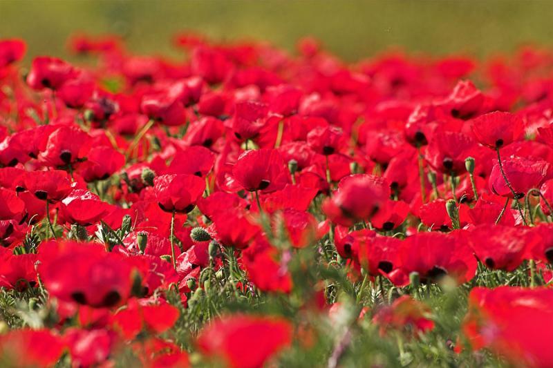 late_spring_in_israel__poppies 6.jpg