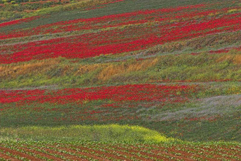 late_spring_in_israel__poppies 8.jpg