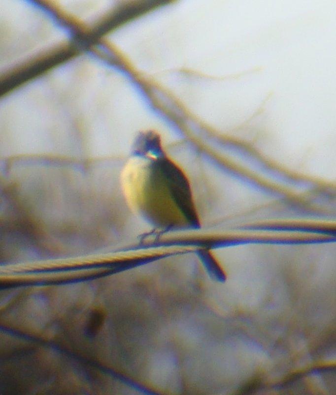 Tropical Kingbird- Braithwaite, Louisiana