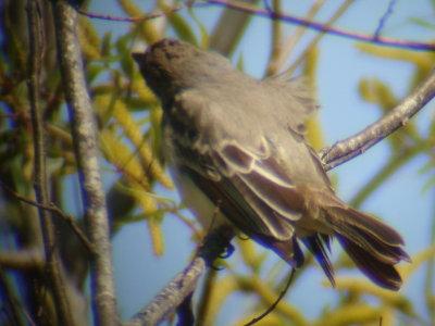 Brown-crested Flycatcher - mantle