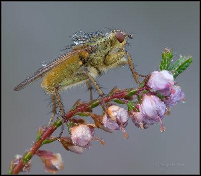 Yellow Dungfly / Strontvlieg