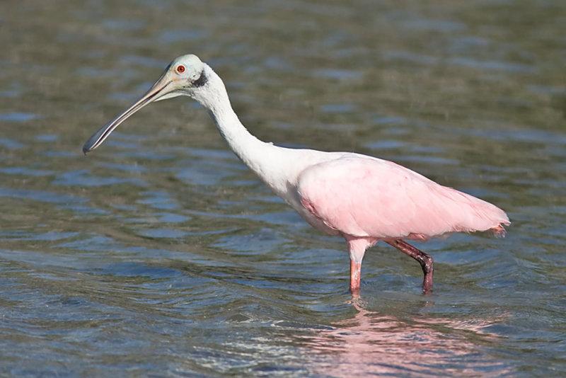 Roseate spoonbill - Roze lepelaar- Ajaia ajaja