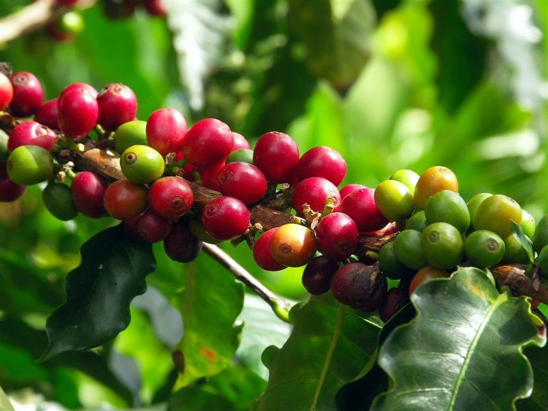 Cofee Beans On Plantations, Monteverde National Park