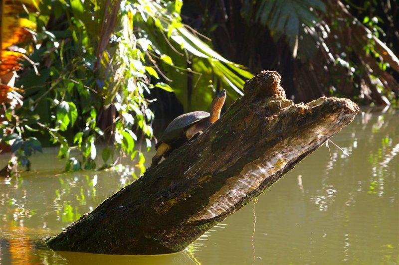 Sunbathing Black Turtle, Tortuguero Selva