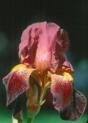Iris 2005