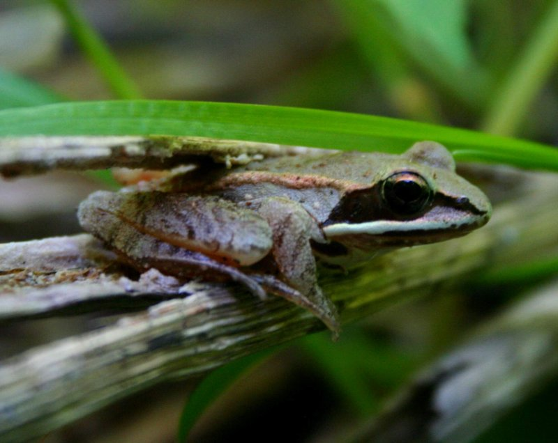 Woodland Green Frog Chilling Out tb0509per.jpg