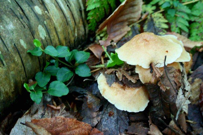Early Mushrooms Popping up by Log tb0809fax.jpg