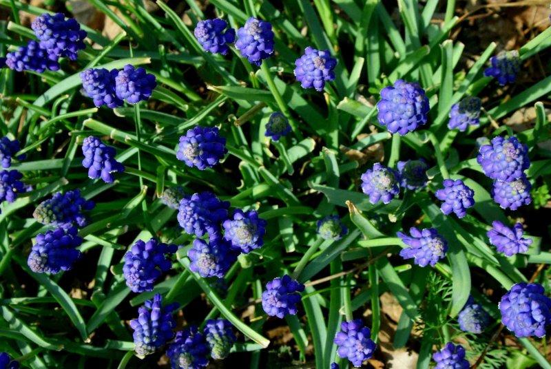 Patch of Grape Hyacinths in Sunshine tb0510sgx.jpg