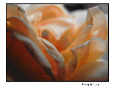 The Delicateness Of A Rose